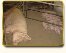 Производство свинины